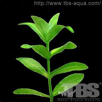 沟繁缕科elatinaceae